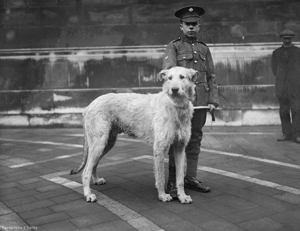 """""""Doreen"""", az ír farkaskutya egy katonai temetésen Írországban. Az ír farkaskutya 1961-óta az ír gárda hivatalos kabalaállata. A gazdák annak reményében ajánlották kabalának a fajtát, hogy a népszerűség majd növeli a fajállományt. Az ír gárda az egyetlen egység a brit hadseregben, melyet kutyájuk vezethet fel a katonai parádékon."""