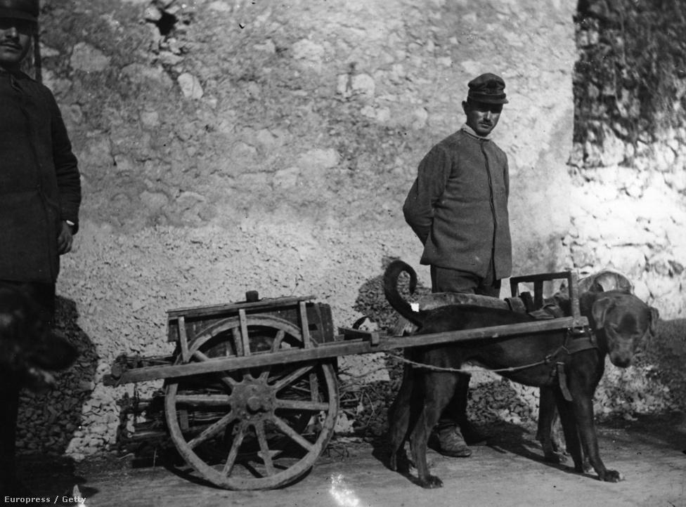 1917, olasz kutyás egység. Az első világháborúban az olaszok mellett a franciák és a belgák is százával használtak vontatókutyákat kisebb szekerek és nehézfegyverzet vontatására. Az oroszok arra is kiképezték a kutyákat, hogy a felkutassák és a táborba hurcolják a frontvonalon megsebesült katonákat.
