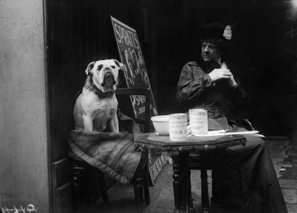 1916, Joseph Jacques Césaire Joffre tábornok sebesült bulldogja pihen egy francia kávézóban. A háborúban szolgált vagy árván maradt kutyákat általában civilek vették gondozásba a harcok után, ez alól csak a vietnami háború volt kivétel, ahol a kutyákat nem hozták haza, hanem elaltatták vagy otthagyták a szövetséges csapatoknak.