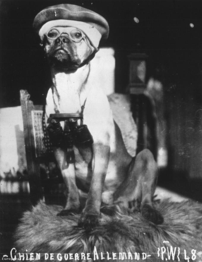 1916, német harcikutya. A kutyák nem bizonyultak hasznosnak a frontvonalon, inkább felderítő és őrző-védő feladatokat kaptak. A mai napig sok helyen használnak kutyákat aknák, csapdák, rejtekhelyek és rejtőzködő ellenséges egységek felderítésére. Az első világháborúban lövészárkokban is tartottak kutyákat, akiknek fontos szerepük volt a hangulat javításában.