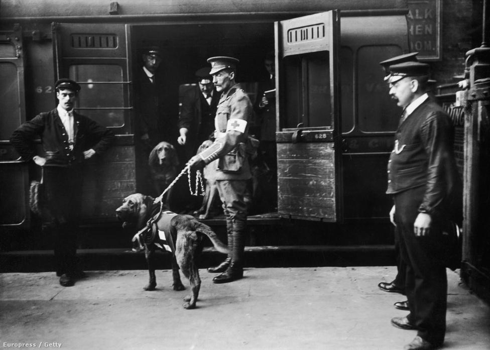 1914, angol vérebek a brit vöröskereszt szolgálatában. Rendkívüli szaglásuk miatt a fajtát sebesült katonák keresésére használták a háborúban, napjainkban pedig rendőrkutyaként alkalmazzák őket.