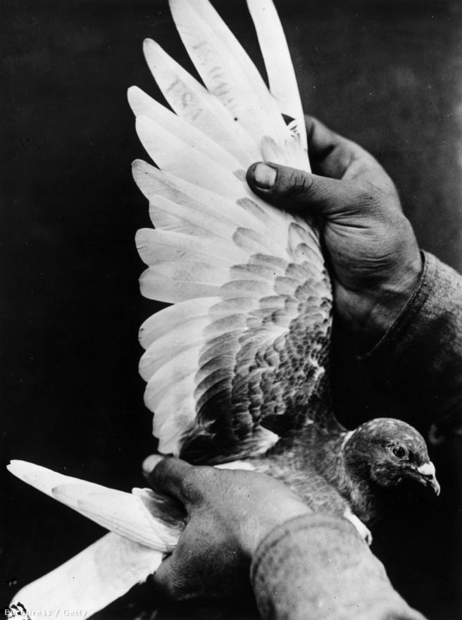 Sorszámozott amerikai hírvivő galamb. Az amerikai hadsereg a második világháború idején még bombákat is próbált galambok segítségével célba juttatni: a galamb a rakéta orrában ült, és kivetítve látta maga előtt a rakéta kamerájának képét, ami alapján a mellette elhelyezett kapcsolókba csípve tudta irányítani a bombát a cél felé. A Project Pigeon fedőnevű kutatásra 25 ezer dollárt költött a hadsereg, de 1944-ben megbízható eredmények híján törölték a tervet. 1948-ban újra elővették az ötletet, de 53-ban már megjelentek az első elektronikus irányítórendszerek, melyek hatékonyabbnak bizonyultak a galamboknál.