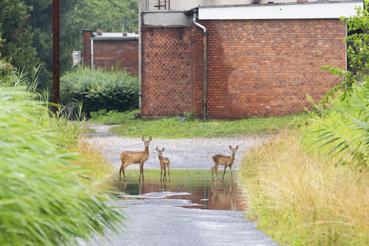 A nagy esőzés miatt őzek menekültek az útra Zalaszentjakabon.
