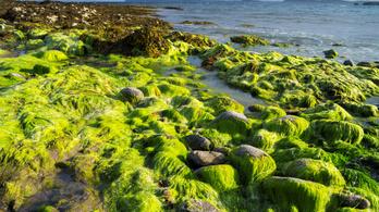 Jégkorszaki moszatokat találtak skót fikológusok
