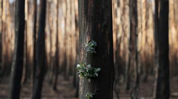 Hárommilliárd állat pusztult el vagy fog elpusztulni az ausztrál erdőtüzek miatt