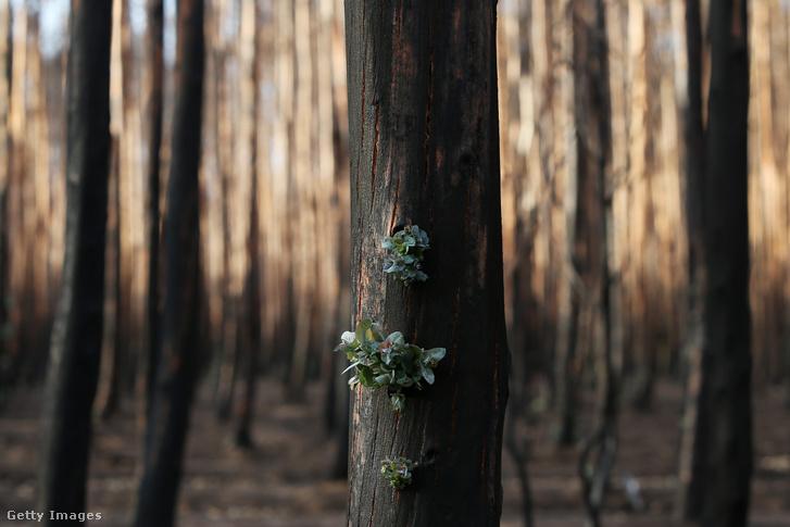 Új hajtás egy februárban megperzselt fán, az ausztráliai Kenguru-szigeten