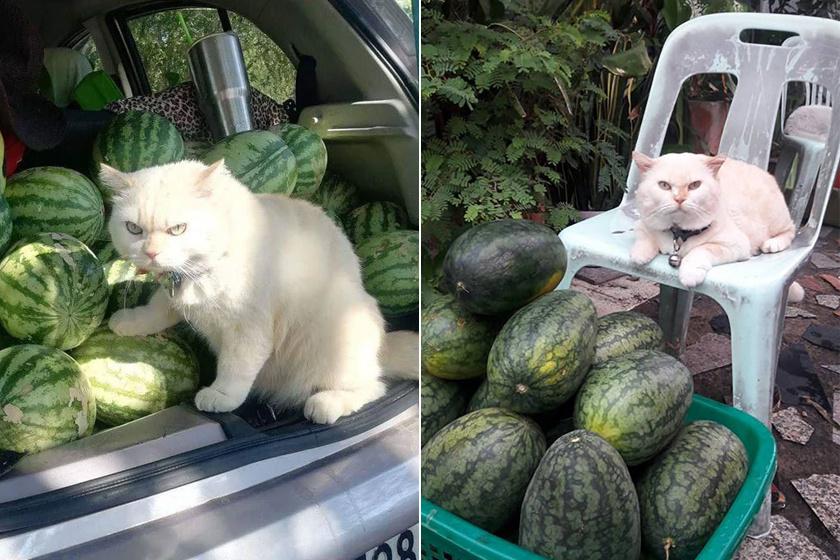 dinnyeőrző-cica