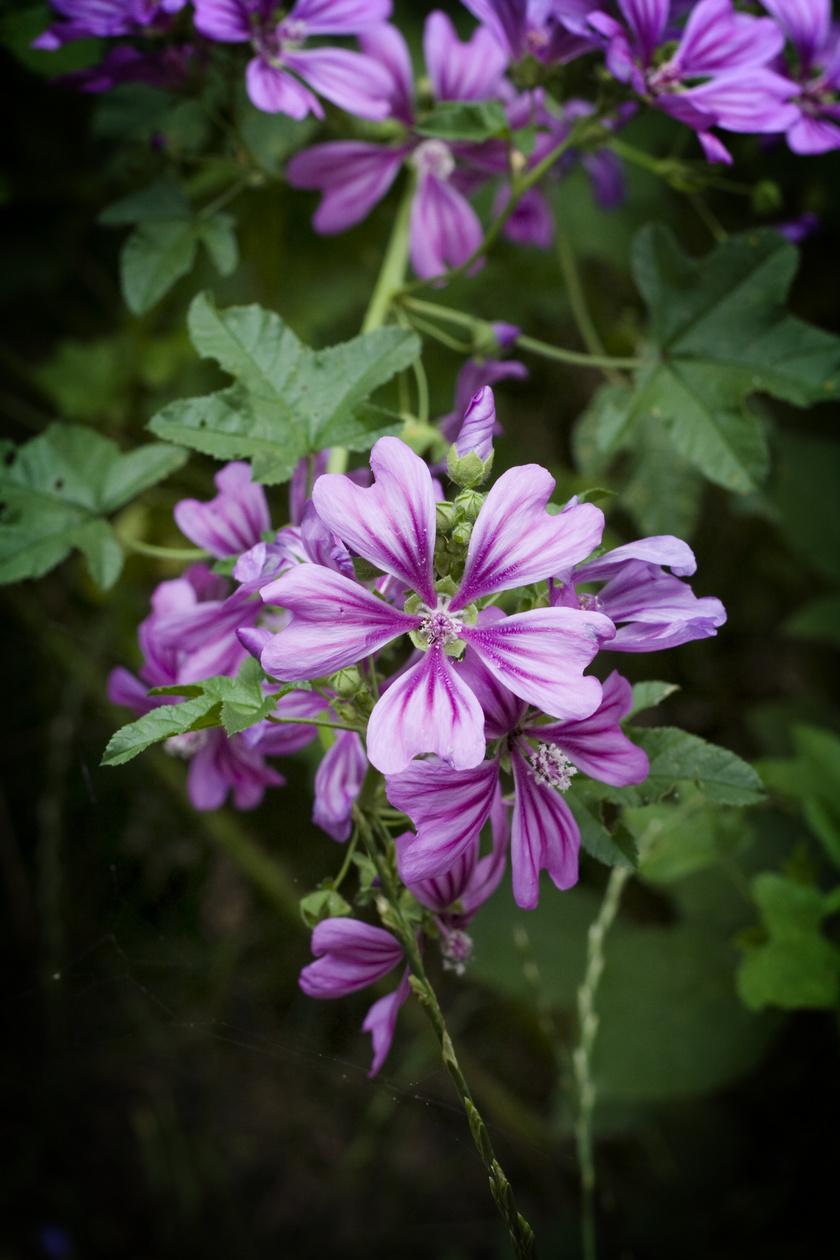 A papsajtként is ismert erdei mályva minden föld feletti része, friss termése, virága és levele is fogyasztható. Gyulladáscsökkentő hatású, jelentős az A-vitamin- és kalciumtartalma is.
