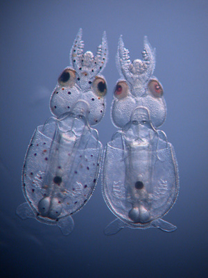 20001231-1-control-and-knockout-squid-hatchlings-doryteuthis-pea
