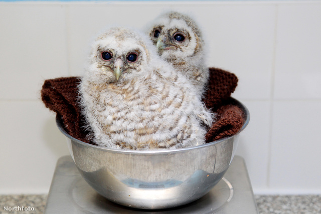 tk3s 1 swns baby owl 040099847