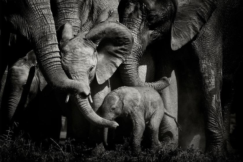 8 erőteljes kép az elefántok világáról: testközelből fotózta a csorda életét a férfi