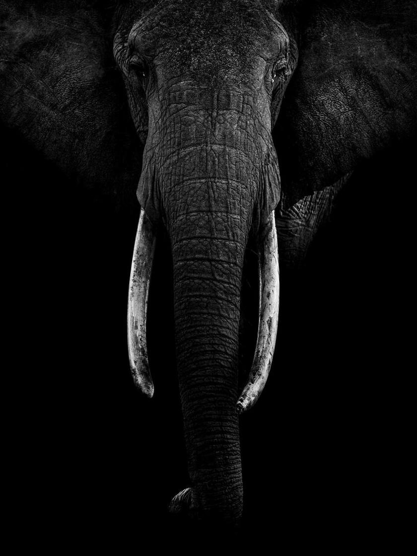 Elefántkirálynő, a család feje.