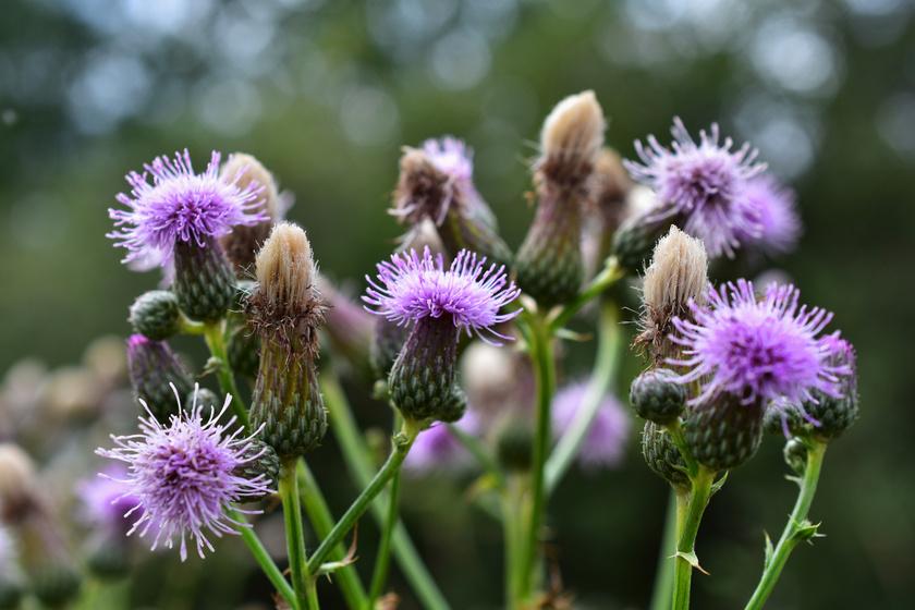 Gyógyítja a májat, csökkenti a gyulladást: a máriatövis magja csupa egészség
