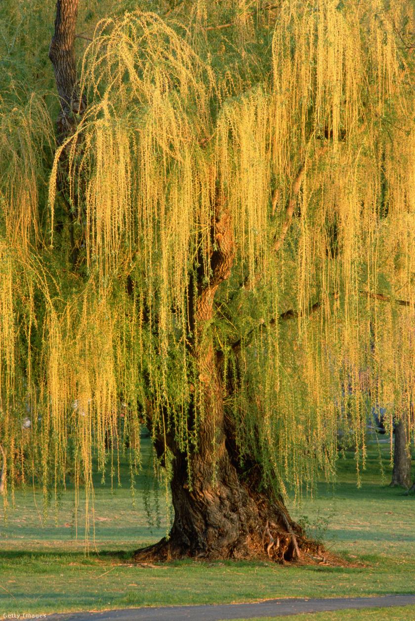 A szomorúfüzek pontos fajtától függően akár két és fél métert is nőhetnek évente, ezzel az egyik leggyorsabban növő, elérhető fafajtákhoz tartozik. A babiloni szomorúfűz (Salix babylonica) magassága fajtájához képest is gyors, akár három méterrel is gyarapodhat minden esztendőben, végső mérete viszont ritkán éri el a 15 métert.A legtöbb talajtípushoz jól alkalmazkodik.