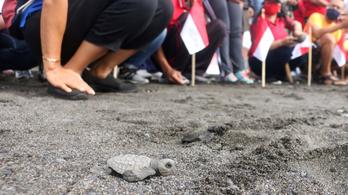 Több mint tízezer teknősfiókát engedtek a tengerbe Balin