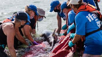 Közel félszáz delfin sodródott partra Massachusettsben, önkéntesek mentették meg őket