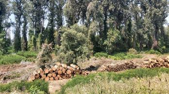 Megint tarvágással pusztítottak el egy erdőrészletet Tiszaugnál