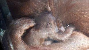 Ime, az első kép az Állatkert legújabb újszülöttjéről