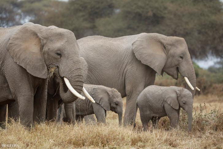Elefántok legelésznek a kenyai Amboseli Nemzeti Parkban 2020. augusztus 12-én.