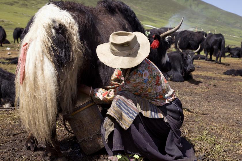 Tibeti nő jakot fej.