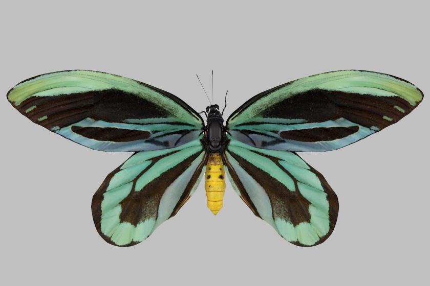 A Pápua Új-Guineában élő Ornithoptera alexandrae, vagyis Alexandra királyné lepke 28-31 centiméterre is képes széttárni a szárnyait.