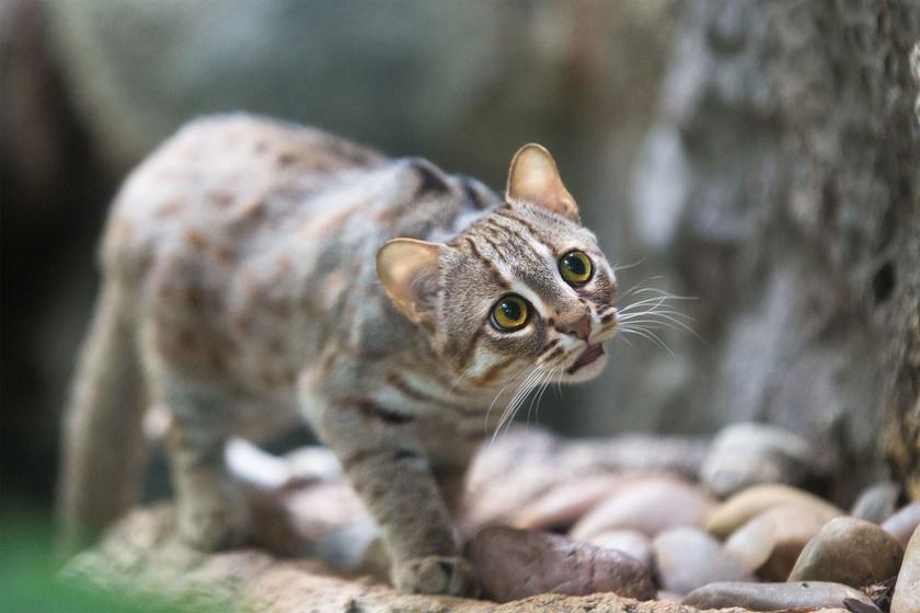 A világ legkisebb vadmacskájáról, a rozsdafoltos macskáról - Prionailurus rubiginosus - nekünk valamiért Kandúr, a csizmás ugrik be.