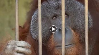 Két védett orangutánt szabadítottak ki állatvédők egy indonéz vidámparkból