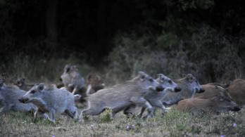 Egy konda vaddisznó kerítette be a győri családot