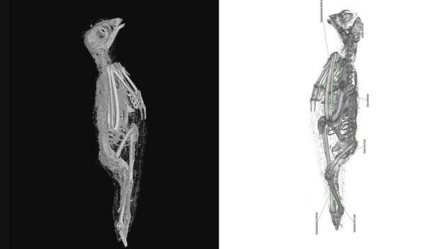 A vörös vércse lágy szövetei (bal) és csontváza