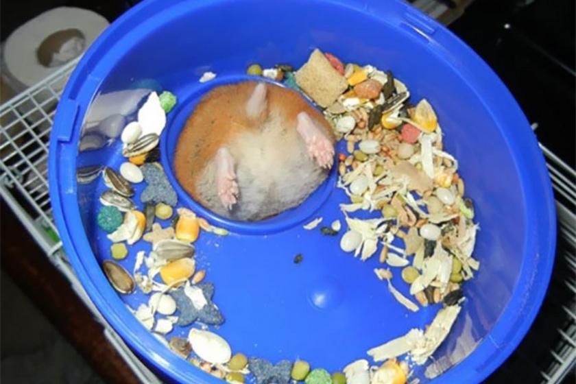 Szegény kis hörcsög alaposan beszorult, amikor felfedező túrára indult az etetőtálkájában.