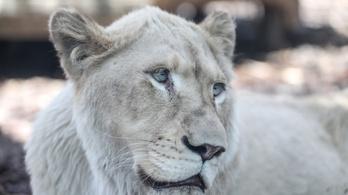Séta közben halára marcangolta gondozóját két oroszlán Dél-Afrikában