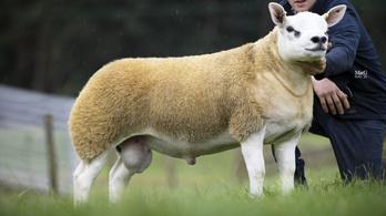 Több mint 145 millió forintot ért a világ legdrágább báránya