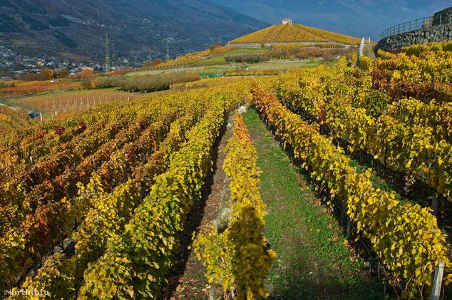 Szőlőskertek az olaszországi Aosta-völgyben