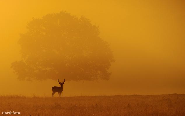Szarvas az angol Richmond Parkban, napfelkeltekor