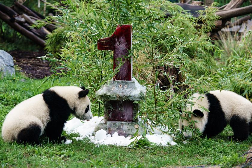 Meng Jüan és Meng Hsziang hamar nekilátott a torta elfogyasztásának.