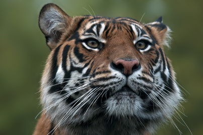 szumatrai-tigris
