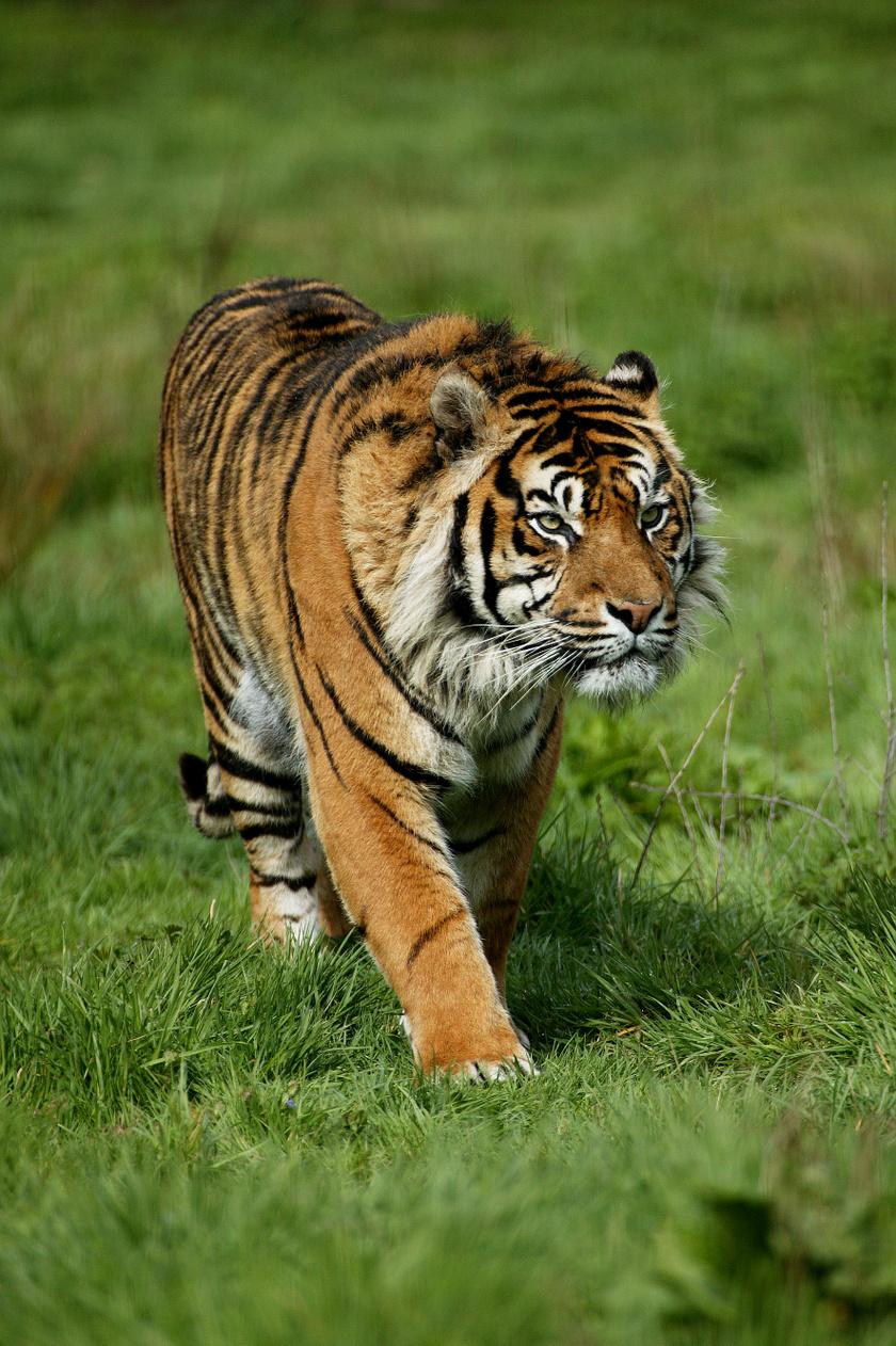 szumatrai-tigris-2