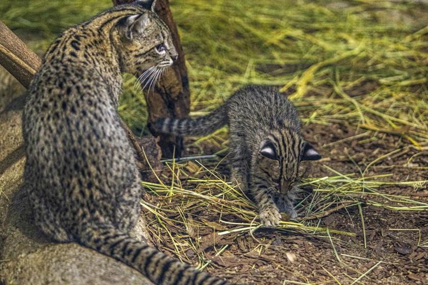 A kis Geoffroy-macska 8-10 hetes koráig főleg anyatejjel táplálkozik, és fokozatosan áll át a ragadozókra jellemző nyers hús fogyasztására.