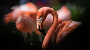 Angry birds a valóságban: túl rózsaszín flamingók és egyéb dühös madarak