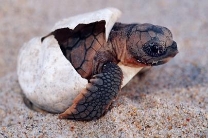 teknős nyitó