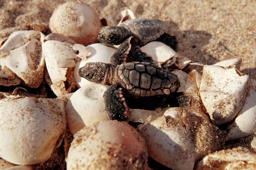 teknős 1