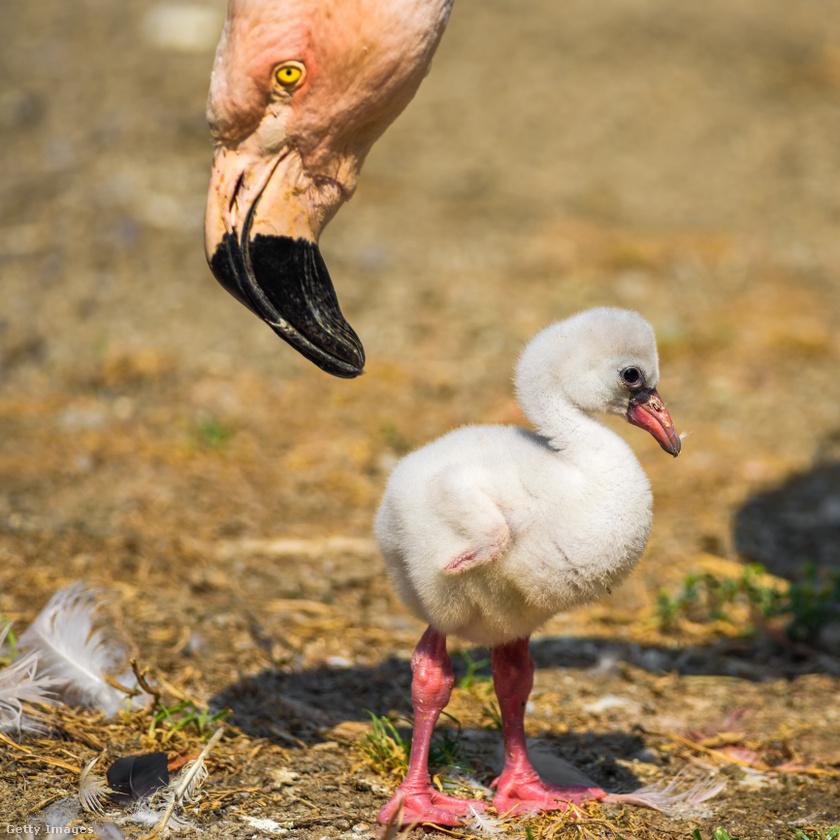 A fiatal flamingók még szürkés színűk pihetollakkal születnek, de a felnőttkorukban ők is ugyanolyan rózsaszínek vagy vöröses színűek lesznek.