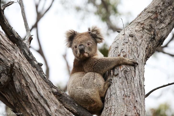 Egy koala, aki nem feltétlenül klamídiás, de így néz ki általában ez az állat, ha klamídiás, ha nem.
