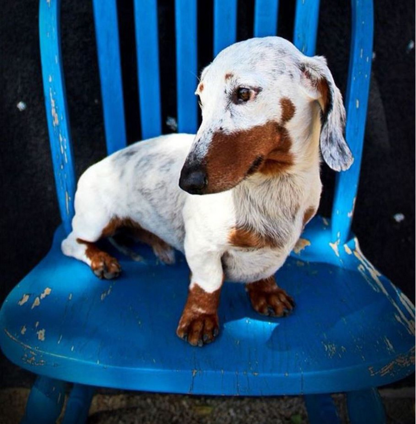 Bár a tacskók nagyon elterjedt fajtának számítanak az egész világon, ilyen egyedi külsejű kutyussal csak ritkán lehet találkozni: a szőre már szinte mindenhol hófehér a genetikai elváltozás miatt, de nagyon jól áll neki!