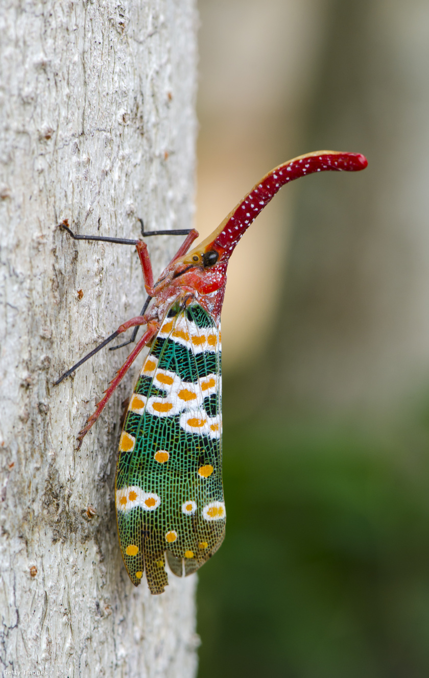 A díszes megjelenése és a piros nyúlványa miatt sokan egy kismanóhoz hasonlítják a sarkantyúskabócát, míg mások lámpásnak hívják.