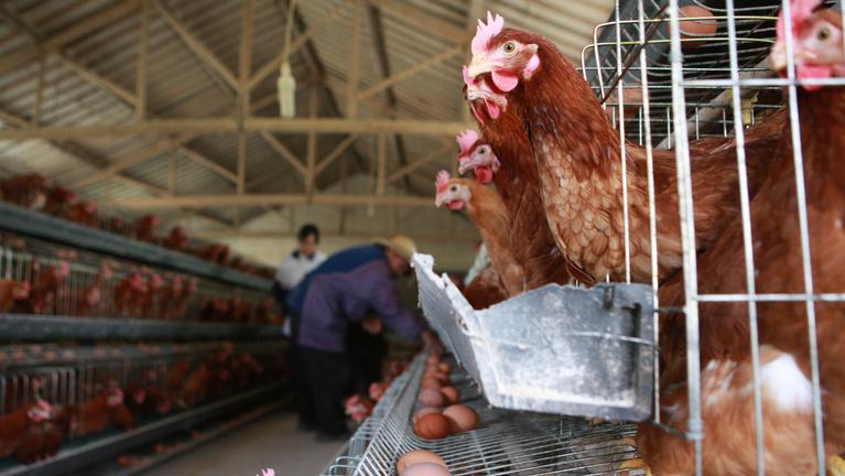 Visszanyerte Magyarország a madárinfluenzától mentes besorolását