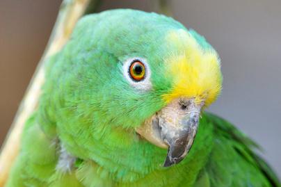 papagáj nyitó