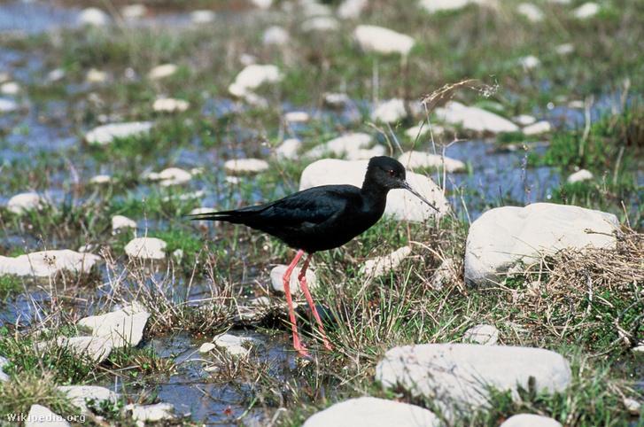 Fekete gólyatöcs (Himantopus novaezelandiae)