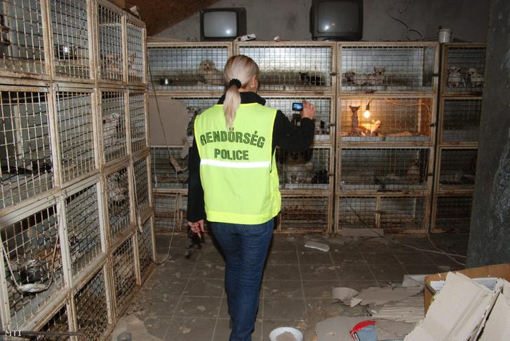 """Rendőr helyszínel egy helvéciai tanyán, ahol szervezett állatvédelmi akció keretében 350-400 csivavát találtak """"borzalmas körülmények között"""". A kutyák közül harmincat el kellett hozni a telepről, mert olyan rossz állapotban voltak, hogy rövid időn belül elpusztultak volna. A hatósági állatorvos szakvéleménye alapján a rendőrség eljárást indított állatkínzás bűntette miatt."""