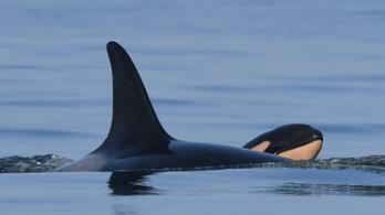 Borja született a gyászoló kardszárnyú delfinnek